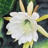 Blüte, Weiß, Kaktus, Aquarell
