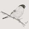 Dompfaff, Blutfink, Vogel, Bleistiftzeichnung