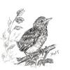Vogel, Bleistiftzeichnung, Wacholderdrossel, Küken