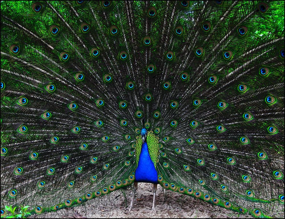 der Pfau 2 - Bild / Kunst von peter fey bei KunstNet Peacock