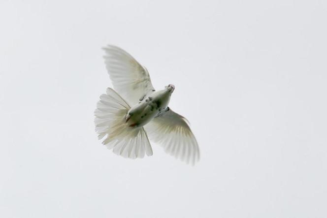 Flügelschlag, Taube, Fliegen, Fotografie