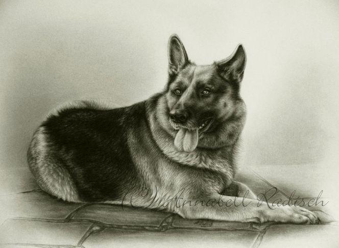 Realismus, Bleistiftzeichnung, Portrait, Hund, Schäferhund, Zeichnungen