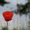 Natur, Mohn, Fotografie, Rot