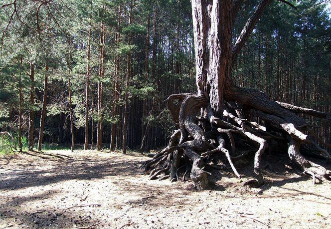 Baum, Wurzel, Sand, Wald, Fotografie, Pflanzen