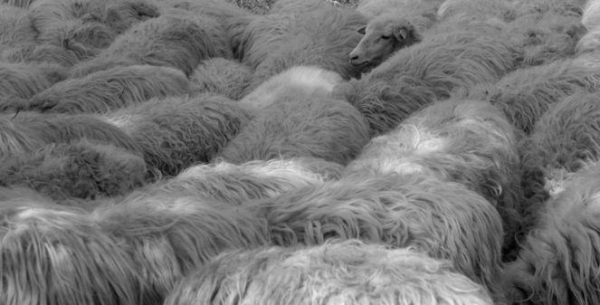 Schaf, Tiere, Fotografie, Natur, Schwarz weiß