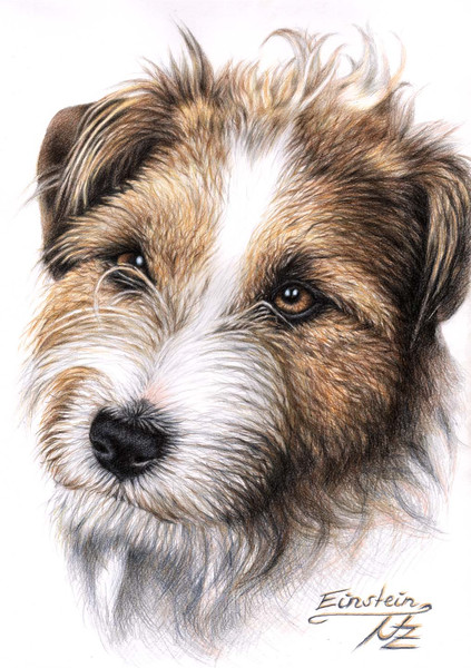 Hund, Hundeportrait, Realismus, Russell, Terrier, Tiere