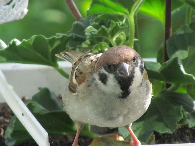 Hausvogel, Spatz, Frühling, Vogel, Elvi, Sperling
