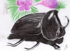 Käfer, Schwarz, Zeichnungen, Nashornkäfer