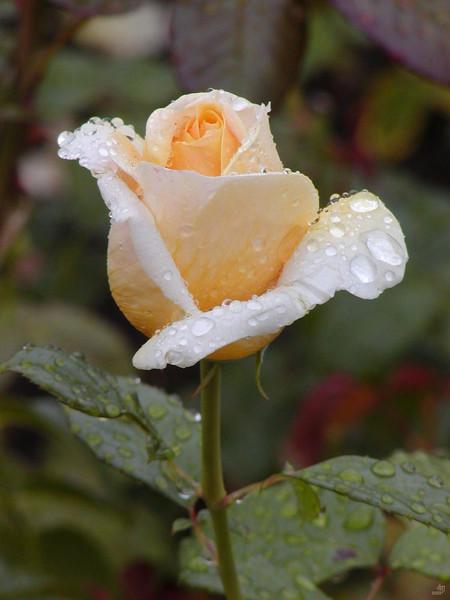 Rosa, Rosaceae, Berlin, Rose, Britzer, Garten