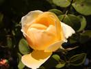 Garten, Rose, Rosa, Rosaceae