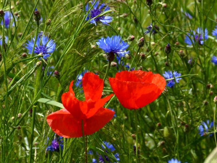 mohn und kornblumen blau blumen mohnblumen pflanzen von keili bei kunstnet. Black Bedroom Furniture Sets. Home Design Ideas