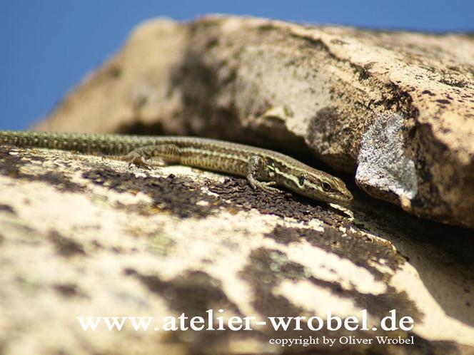 Eidechse, Fotogradfie, Tiere, Reptil, Natur, Fotografie