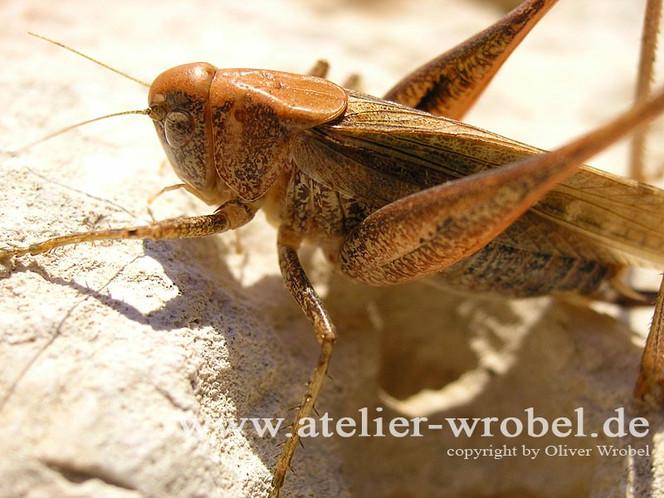 Fotogradfie, Tiere, Heuschrecke, Reptil, Natur, Fotografie