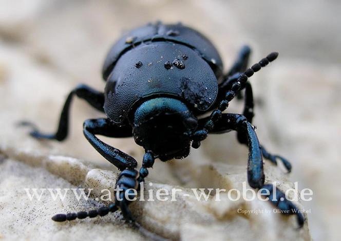 Fotogradfie, Reptil, Tiere, Natur, Fotografie, Käfer