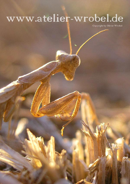 Gottesanbeterin, Fotogradfie, Insekten, Tiere, Natur, Fotografie