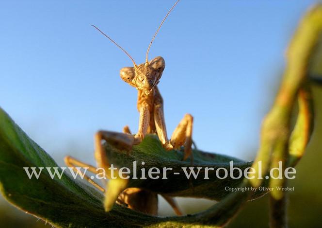 Gottesanbeterin, Fotogradfie, Tiere, Insekten, Natur, Fotografie
