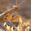 Fotogradfie, Tiere, Gottesanbeterin, Insekten