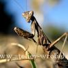 Insekten, Tiere, Natur, Gottesanbeterin