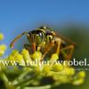 Natur, Wespe, Fotografie, Schmetterling