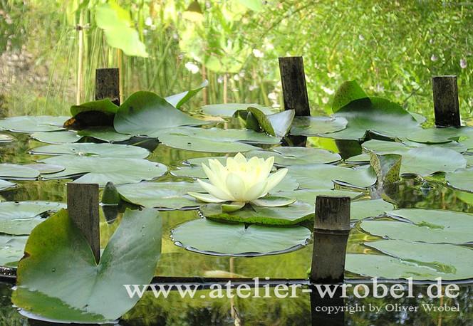 Blüte, Seerosen, Natur, Pflanzen, Fotografie, Schmetterling