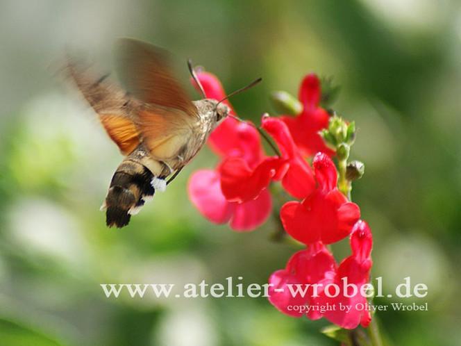 Tiere, Insekten, Schmetterling, Makro, Taube, Fotogradfie