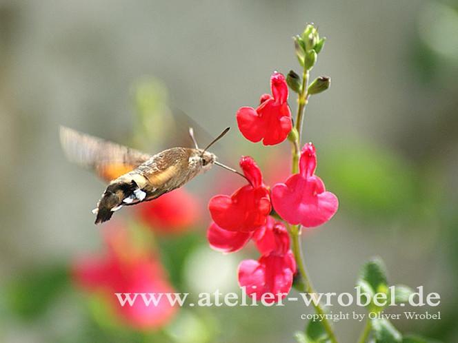 Tiere, Insekten, Taube, Schmetterling, Makro, Natur