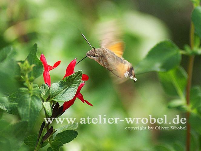 Natur, Taube, Fotografie, Schmetterling, Makro, Insekten