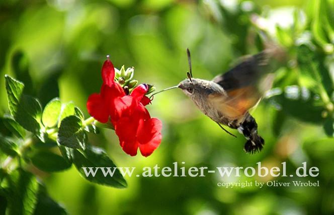 Natur, Fotografie, Schmetterling, Insekten, Makro, Taube