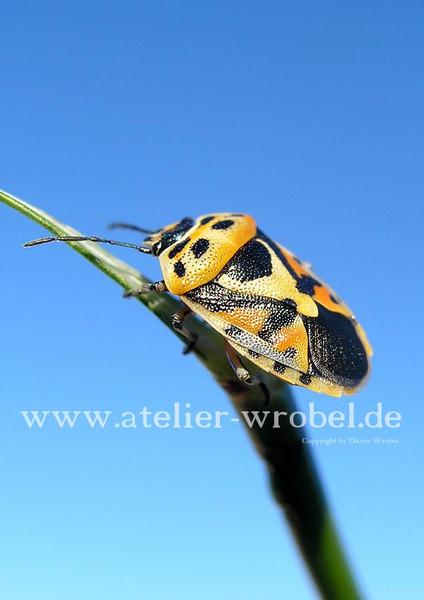 Wanze, Käfer, Natur, Fotografie, Schmetterling, Makro