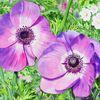 Aquarellmalerei, Blüte, Blumen, Lilablüte