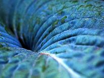 Blätter, Makro, Funkie, Blau
