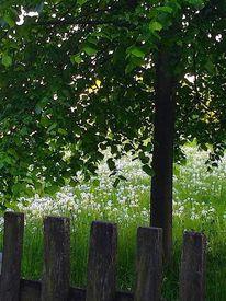 Zaun, Baum, Pusteblumen, Frühjahr
