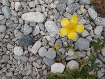 ...eine Blume aus dem Kiesboden wachsend ... Juni 2oo1 ...