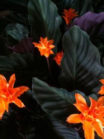 Stern, Blumen, Fotografie, Orange