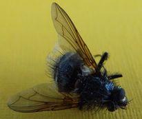 Schwarz, Fliege, Gelb, Flügel
