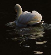 Schwan, Abendlicht, Weiß, See
