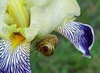 Iris, Zart, Fotografie,