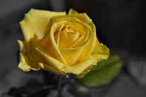Zeichen, Freundschaft, Rose gelb, Geste