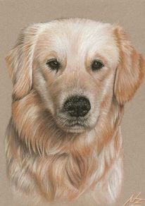 Gold, Tiere, Portrait, Retriever