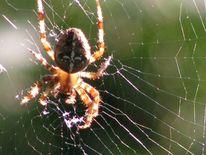 Spinne foto kreuzspinne gegenlicht, Fotografie, Spinne