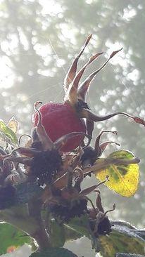 Hagebutte, Oktober, Wald, Kiefer
