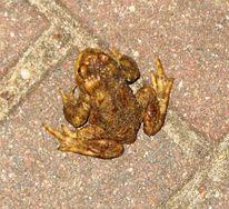 Frosch, Kröte, Frühling, Lurch
