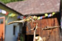 Libelle, Fotografie, Tierfotografie