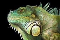 Reptil, Reptilie, Tiere, Leguan