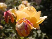 Britzer, Rose, Berlin, Garten