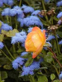 Rosa, Rosaceae, Britzer, Rose