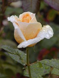 Rosaceae, Berlin, Rose, Britzer