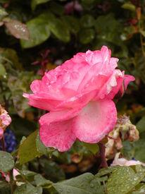 Rosa, Rose, Berlin, Rosaceae