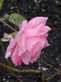 Rosa, Rosaceae, Rose, Berlin