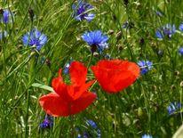 Mohnblumen, Pflanzen, Farben, Rot